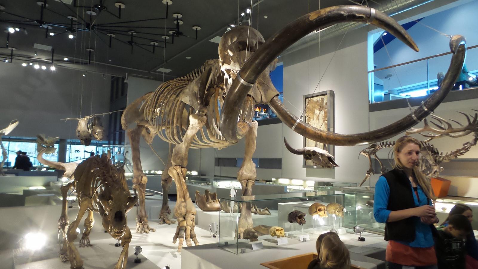 Een van de topstukken van Naturalis is het skelet van een Mammoet