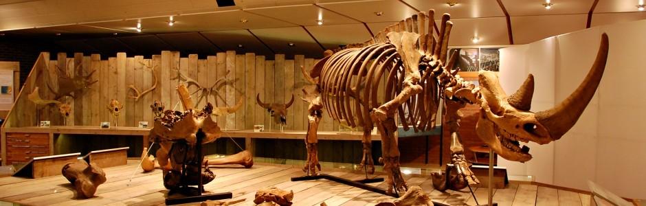 De wolharige neushoorn van Etten: Reconstructie van een compleet skelet van Coelodonta antiquitatis